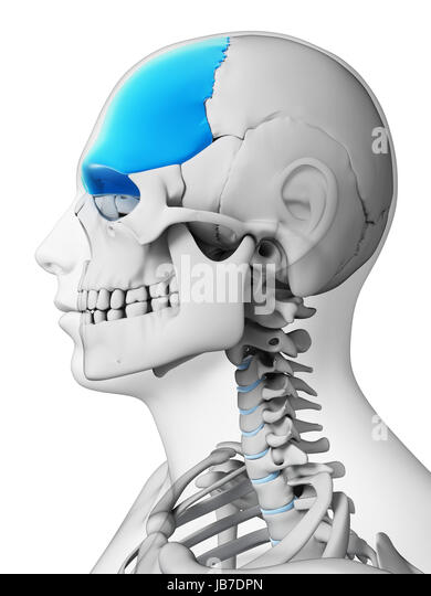 Frontal Bone Stock Photos & Frontal Bone Stock Images - Alamy