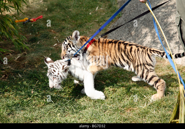 Bengal Tiger Cubs Playing