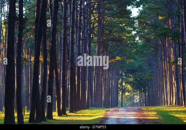 Pine Tree Garden, Chiang Mai,Thailand   Stock Image