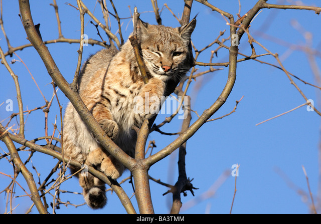 Consider, that lynx track afc lick