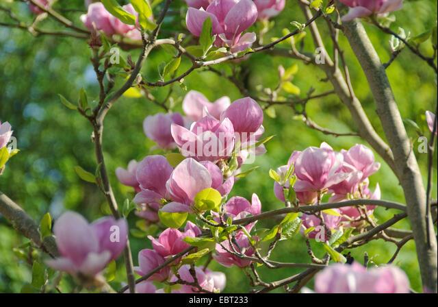 magnolia soulangeana lennei stock photos magnolia soulangeana lennei stock images alamy. Black Bedroom Furniture Sets. Home Design Ideas