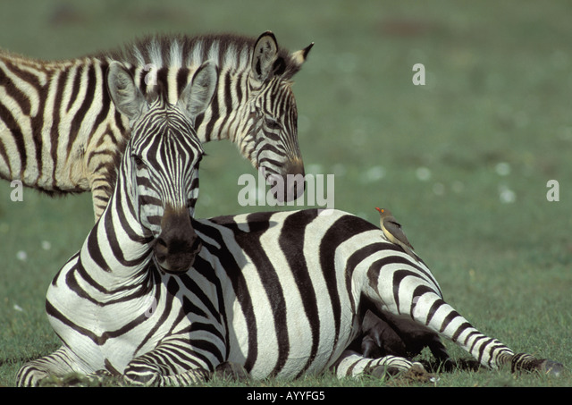 zebra and red billed oxpecker relationship goals