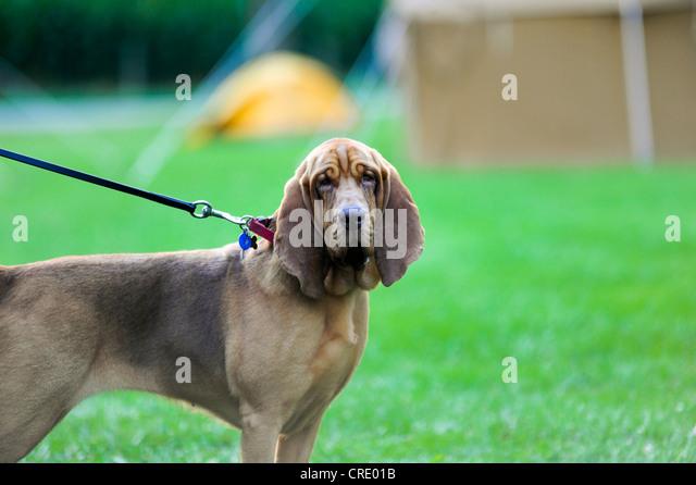 Bloodhound's asset - Crossword Quiz Answers