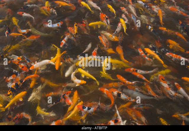 Fish farming stock photos fish farming stock images alamy for Koi 9 en israel