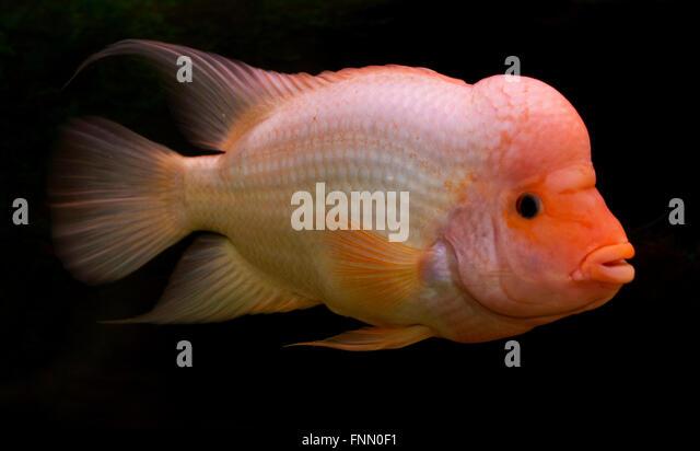 Amphilophus stock photos amphilophus stock images alamy for Red devil fish