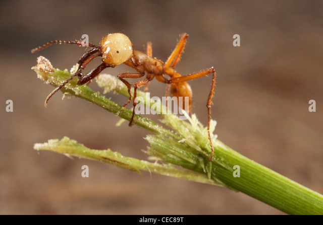ant and c army ants Army ants army ants are not the a diverse group of guests is usually encountered with army ant colonies r d akre and c w rettenmeyer studied the association.