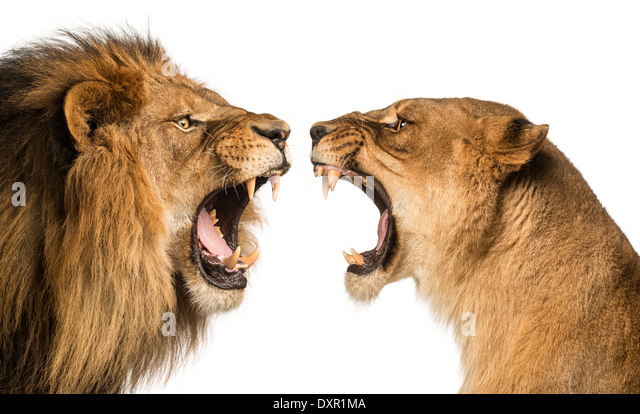 Lion Roar Stock Photos Lion Roar Stock Images Alamy
