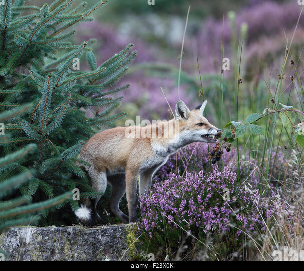 Red fox eating rabbit - photo#55