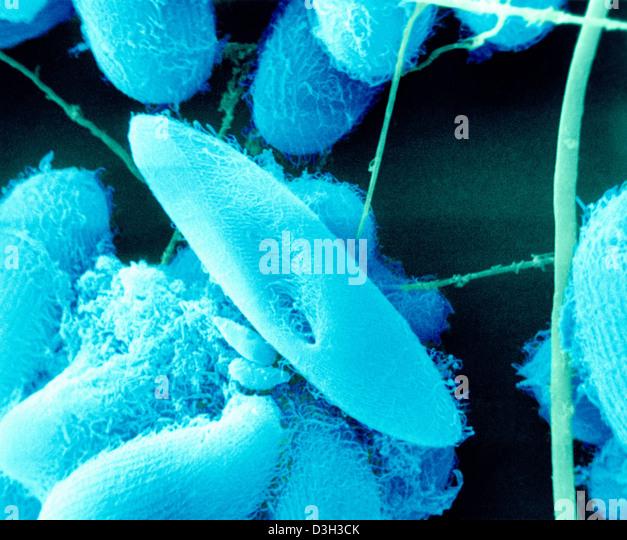 Paramecium Sp Stock Photos & Paramecium Sp Stock Images ...