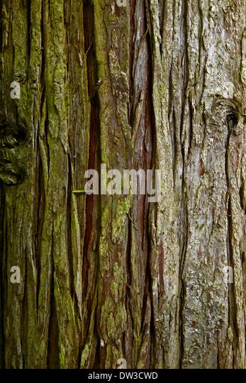 evergreen tree bark background - photo #25