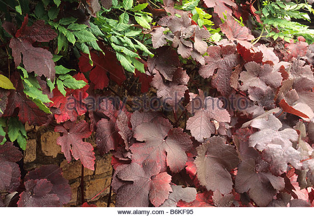 vitis vinifera purpurea stock photos  u0026 vitis vinifera