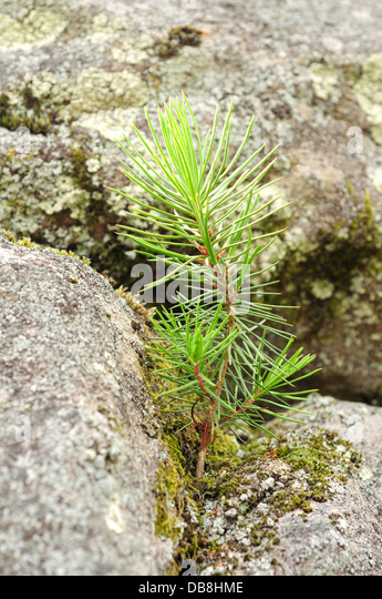 how to grow a pine tree from a sapling