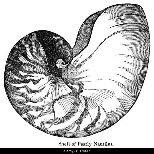 nautilus shell drawings wwwpixsharkcom images