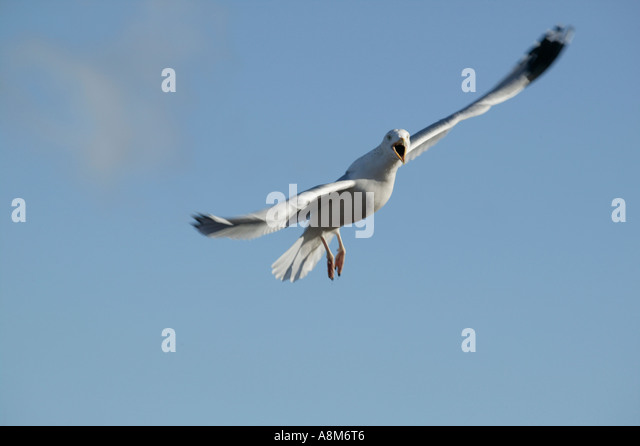 Swoop Seagull Stock Photos Amp Swoop Seagull Stock Images  Alamy