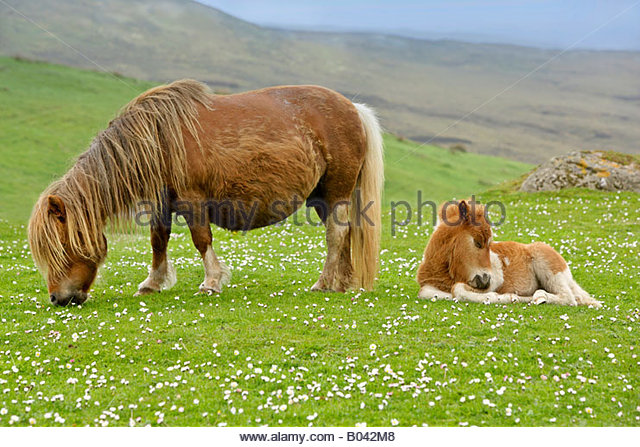 shetland pony shetlandpony fohlen stock photos shetland pony shetlandpony fohlen stock images. Black Bedroom Furniture Sets. Home Design Ideas