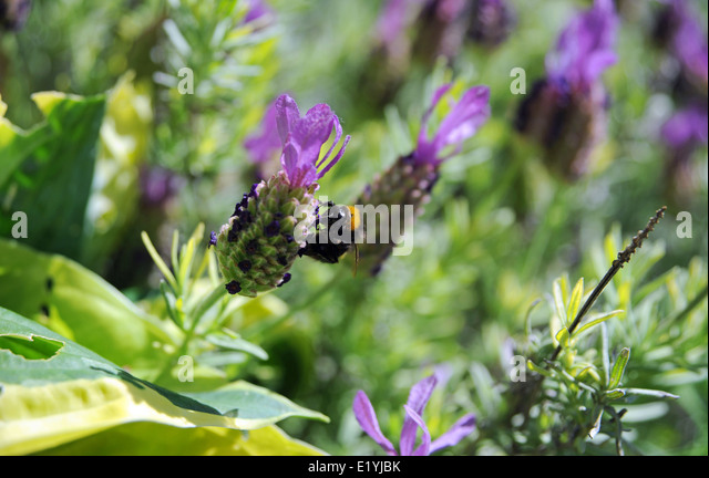 Gorgeous Brighton Plants Stock Photos  Brighton Plants Stock Images  Alamy With Luxury Bumblebee On A Lavender Flower Plant Brighton Uk  Stock Image With Astounding Green Garden Resort  Suites Also Garden Furniture Sets Cheap In Addition Pub Garden Ideas And Cheap Busch Gardens Tickets As Well As Kew Gardens Underground Additionally Garden Birds Fabric From Alamycom With   Astounding Brighton Plants Stock Photos  Brighton Plants Stock Images  Alamy With Gorgeous Cheap Busch Gardens Tickets As Well As Kew Gardens Underground Additionally Garden Birds Fabric And Luxury Bumblebee On A Lavender Flower Plant Brighton Uk  Stock Image Via Alamycom