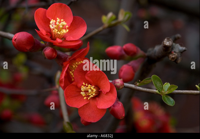 shrub with red flowers flowering quince chaenomeles stock image - Quince Flower