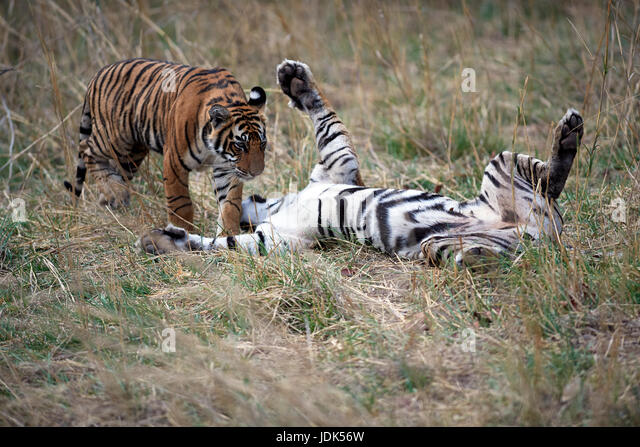 Fighting Tiger Stock Photos & Fighting Tiger Stock Images ...