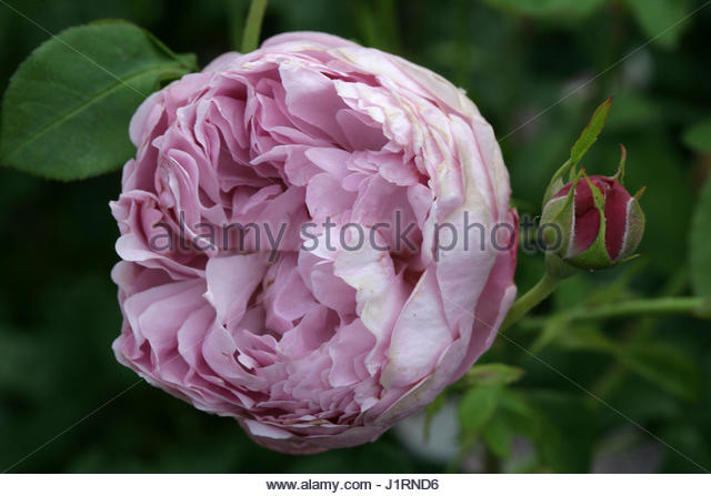 rose charles austin english rose stock photos rose. Black Bedroom Furniture Sets. Home Design Ideas