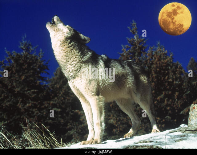 Wolf Howl Moon Stock Photos & Wolf Howl Moon Stock Images ...  Wolf Howl Moon ...