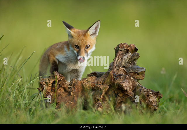 fox in a tree stump This video is unavailable watch queue queue watch queue queue.