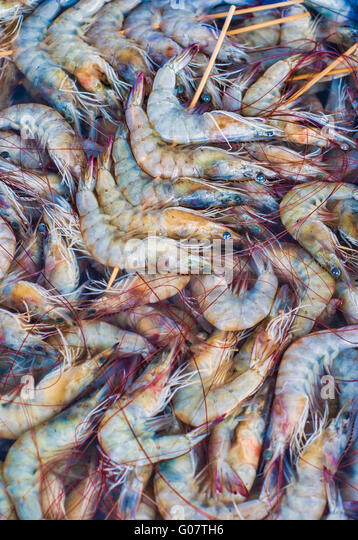 Mature giant freshwater prawn