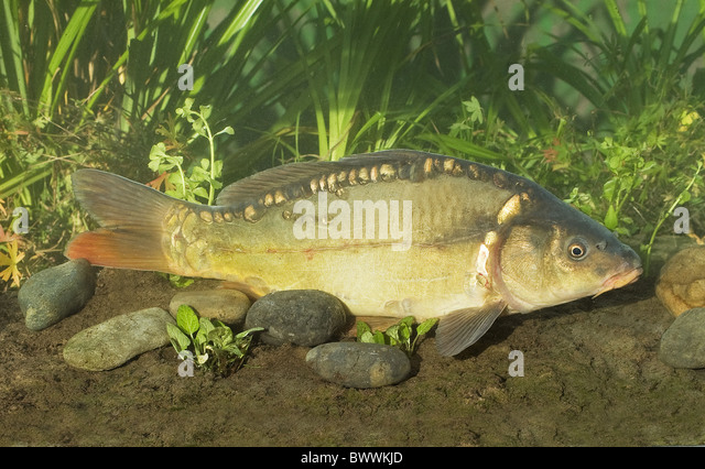Mud Carp Stock Photos & Mud Carp Stock Images - Alamy