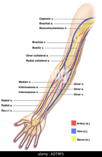 arm arteries stock photos & arm arteries stock images - alamy, Cephalic Vein