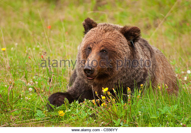 grizzly bear resting in - photo #25