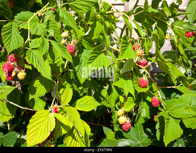 how to grow red raspberries