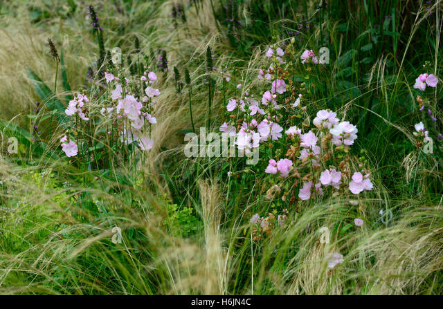 Sidalcea stock photos sidalcea stock images alamy for Grasses planting scheme