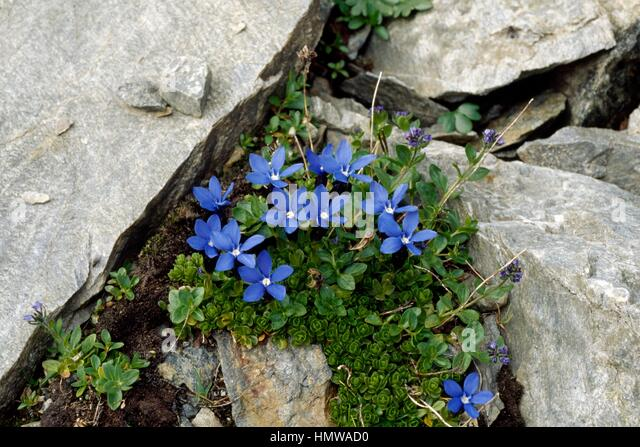 bavarian gentians For feverish encounters, hypnotic imagery, incantatory style: the marriage of  the living dark, as my favorite poem, bavarian gentians, put it.