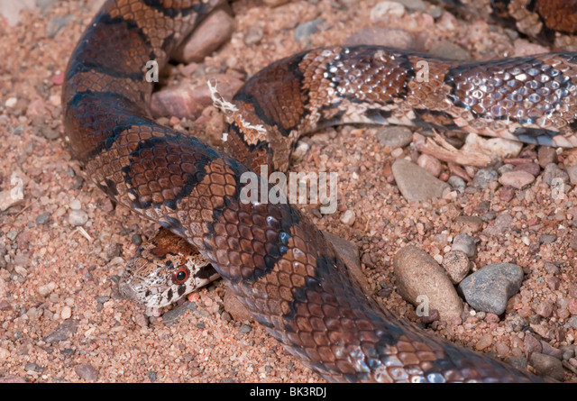 Lampropeltis Triangulum Stock Photos & Lampropeltis ...