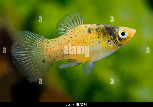 Bee breed stock photos bee breed stock images alamy for Platy fish breeding