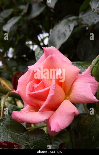 st annes rose garden stock photos st annes rose garden stock images alamy. Black Bedroom Furniture Sets. Home Design Ideas