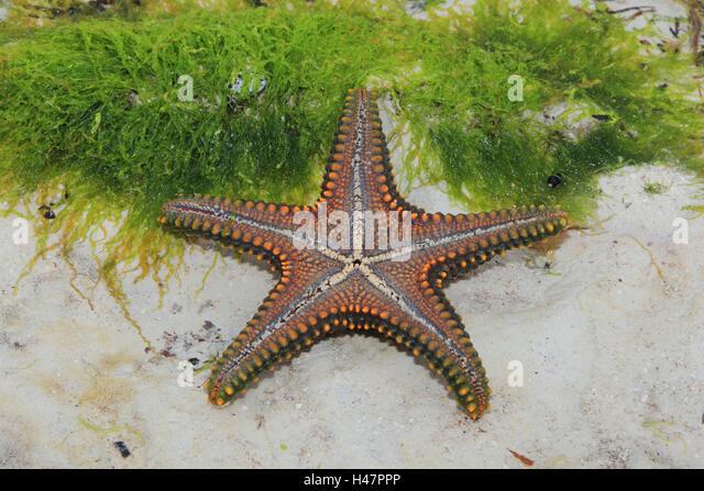 Indian Ocean Starfish Stock Photos Amp Indian Ocean Starfish
