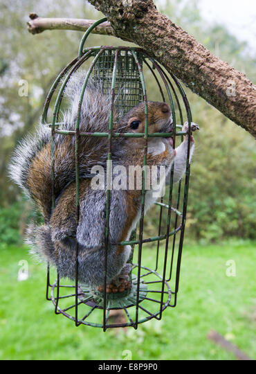 grey squirrel sciurius stuck inside a squirrel proof bird feeder after it fed and gorged - Squirrel Proof Bird Feeders