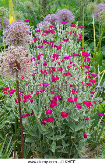 Bulbe stock photos bulbe stock images alamy - Coquelourde des jardins lychnis coronaria ...
