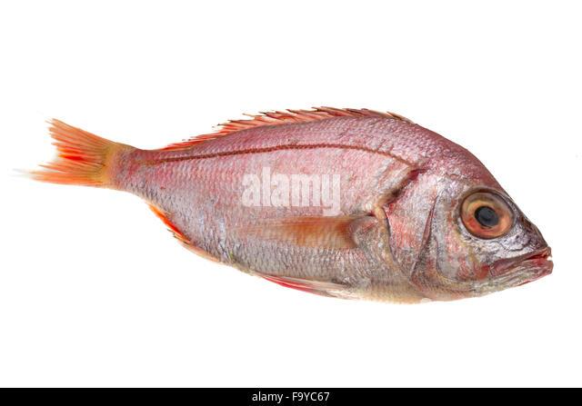 Ocean perch stock photos ocean perch stock images alamy for Sea perch fish