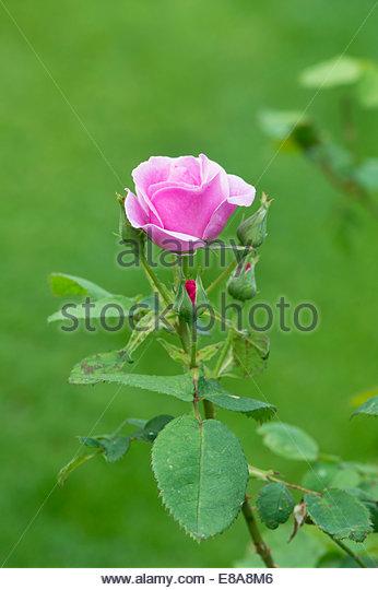 Bush Rose Stock Photos & Bush Rose Stock Images - Alamy