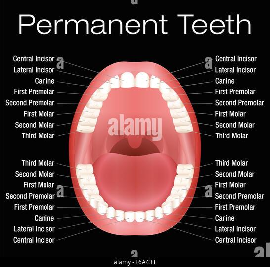 premolar stock photos  u0026 premolar stock images