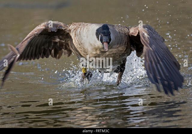 Canada Goose trillium parka outlet official - Goose Attack Stock Photos & Goose Attack Stock Images - Alamy
