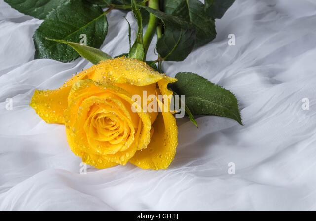 yellow roses with water drops - photo #31
