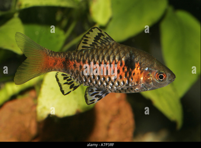 Fishes Barb Barbs Stock Photos & Fishes Barb Barbs Stock Images ...