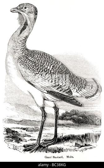great bustard male stock image