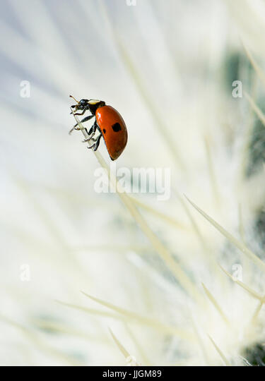 European seven spotted ladybird (Coccinella septempunctata) on a cactus - Stock Image