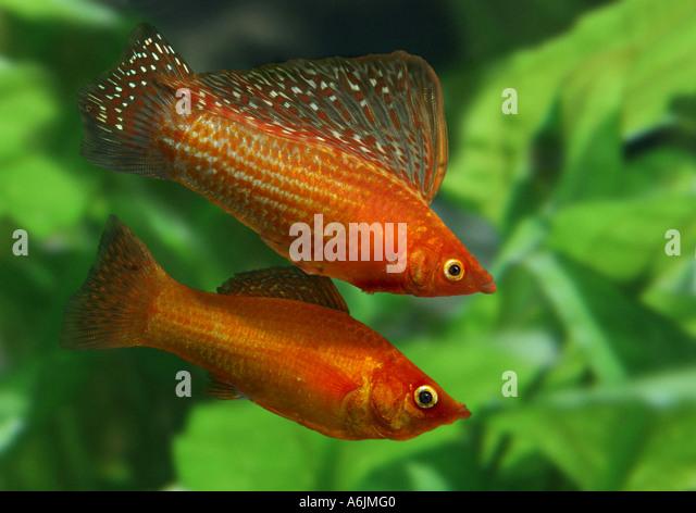 red sailfin molly (Poecilia velifera) - Stock Image