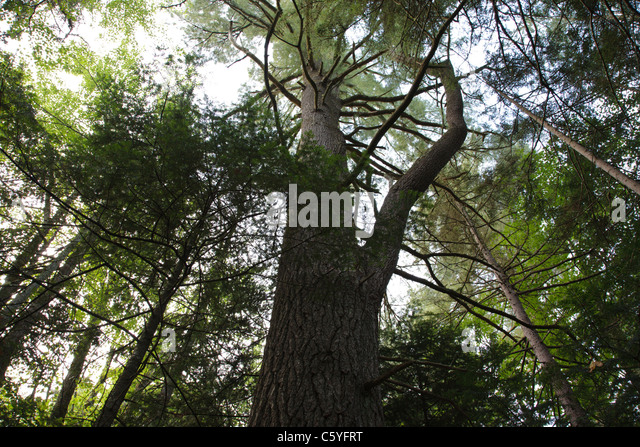 Circumference of tree stock photos circumference of tree for Mature pine trees