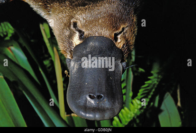 Platypus beak - photo#26