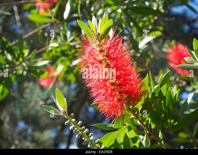 Callistemon plant stock photos callistemon plant stock images alamy - Flowers native to greece a sea of color ...